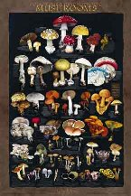 Poisonous and Psycotrophic Mushrooms Poster