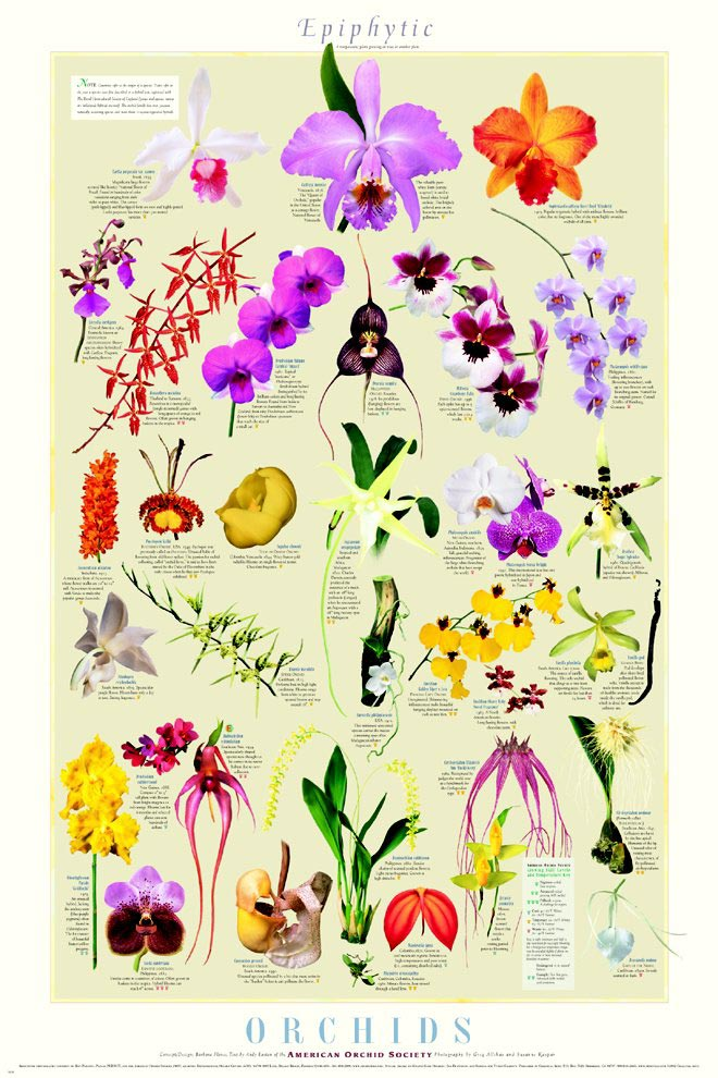 Epiphytic Orchids Poster